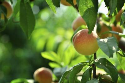 Can You Eat Peaches When Pregnant?