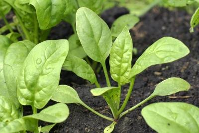 What Are the Benefits of Spinach if You Are Diabetic?