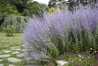 Health Benefits of Russian Sage