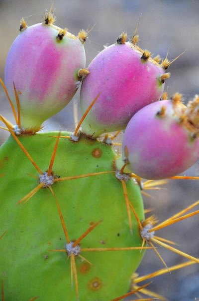 Nutrition Facts of Nopal Cactus