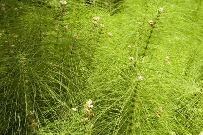 Benefits & Side Effects of Horsetail Extract