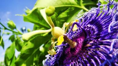 The Best Dosage of Passionflower for Treating Anxiety