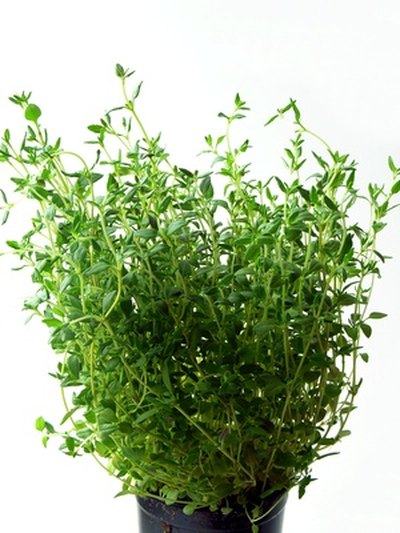 What Are the Benefits of Tincture of Thyme?