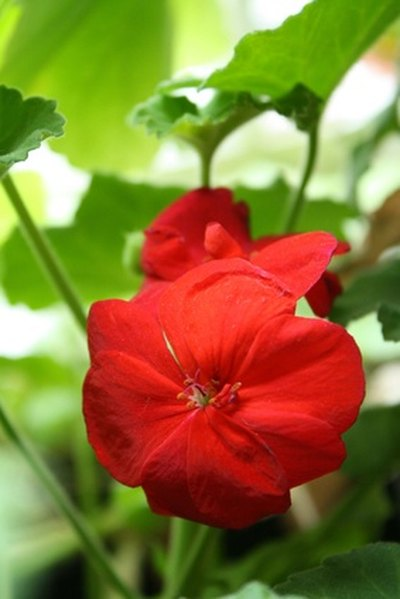 The Side Effects of Geranium Oil