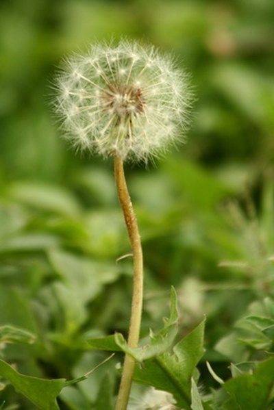 Dandelion Root in Pregnancy