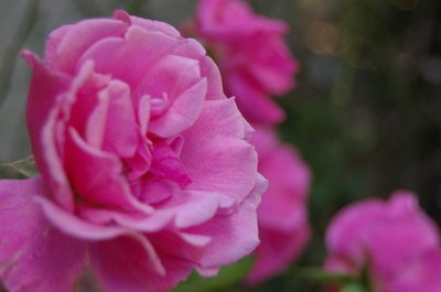 The Uses of Rose Water