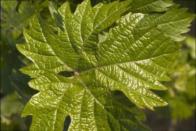 What Are the Health Benefits of Grape Leaves?