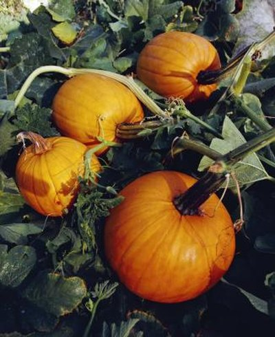 Is Canned Pumpkin Good for You?