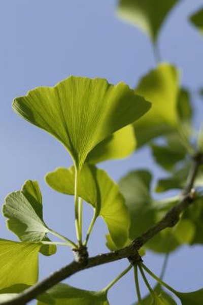 Foods Containing Ginkgo
