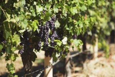 What Are the Health Benefits of Black Seedless Grapes?