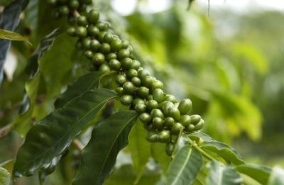What Are the Benefits of Green Coffee?
