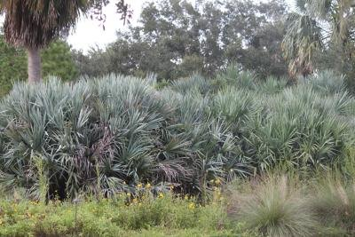 Saw Palmetto & Estrogen