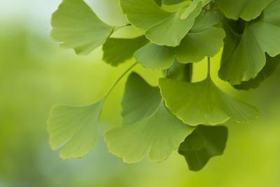 Bad Effects of Ginko Biloba