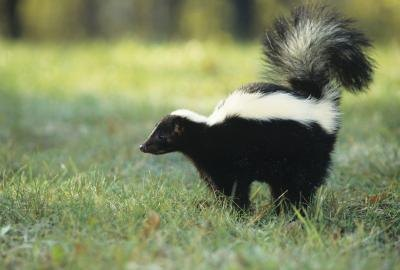 How to Get Rid of Skunk Smell on Humans