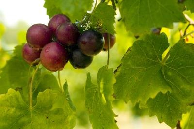 Muscadine Grape Seed Benefits