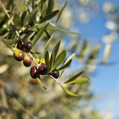Olive Leaf Extract and Arthritis