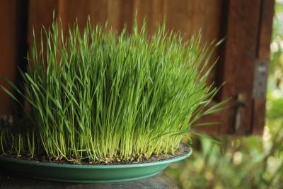 How to Eat Wheatgrass