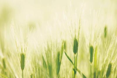 Nutrition in Barley Grass
