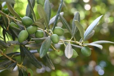The Effect of Olive Leaf Extract on the Thyroid