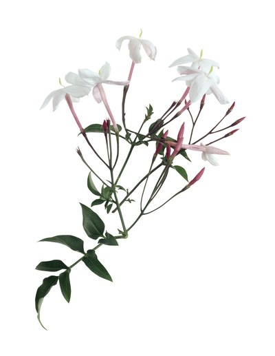 Jasmine oil is a darling of the perfume industry and a threat to dry skin.