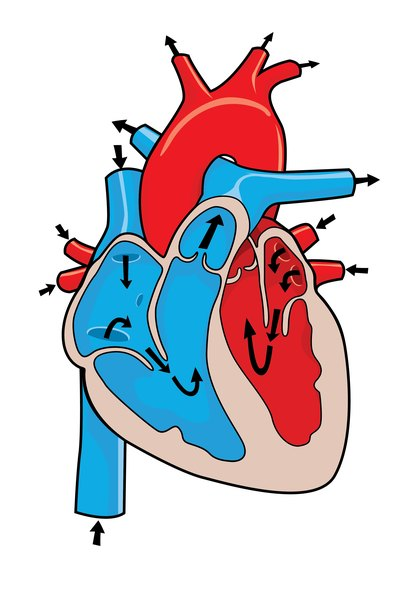 What Is the Difference Between Smooth & Cardiac Muscle?