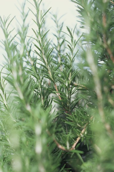 How to Make Rosemary Skin Oil