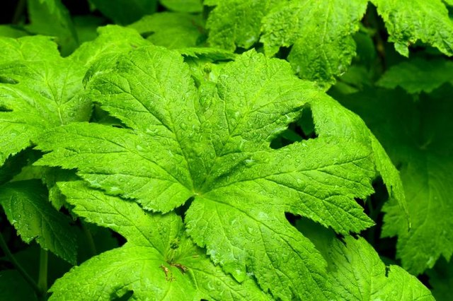 Is Goldenseal Root Safe for Kids?