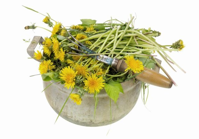 Dandelion Root for Edema