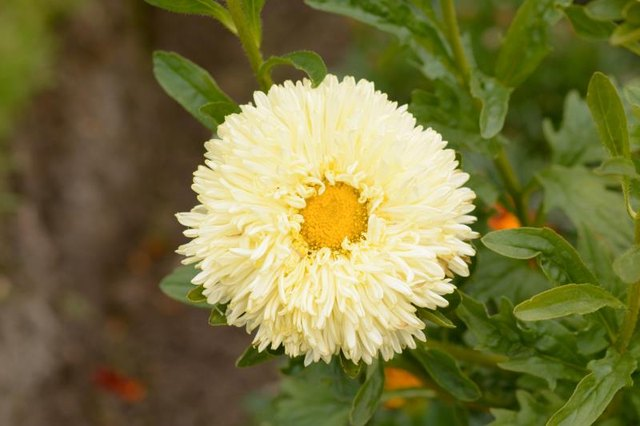 Calendula for Perioral Dermatitis