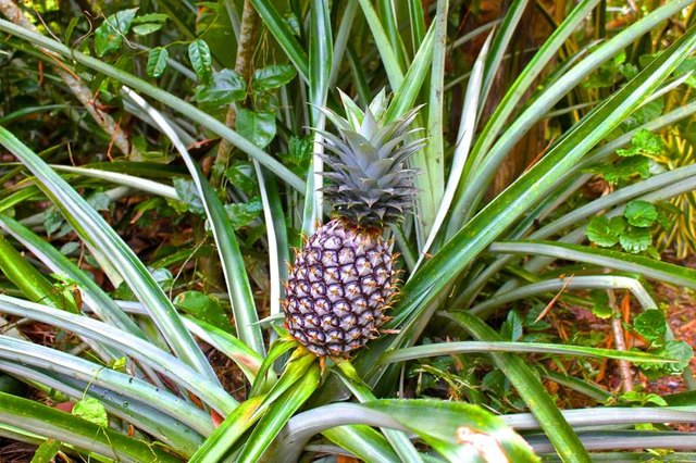 Kinds of Pineapple