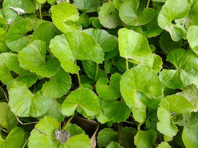 The Benefits and Side Effects of Gotu Kola