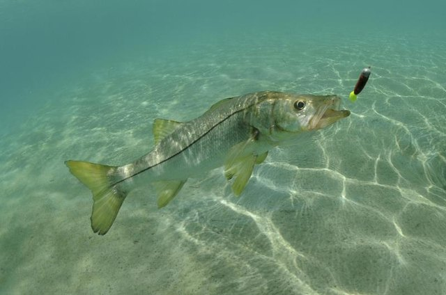 How to Cook Snook Fish