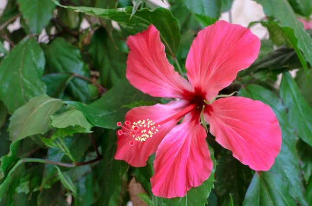 How to Make Hibiscus Juice