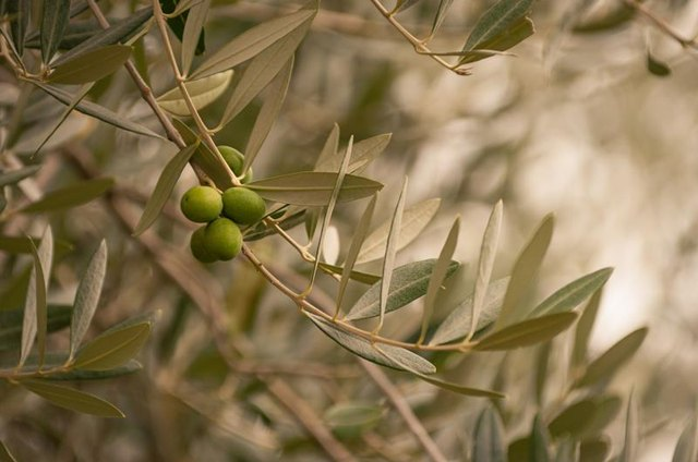Olive Leaf Extract & Lyme Disease