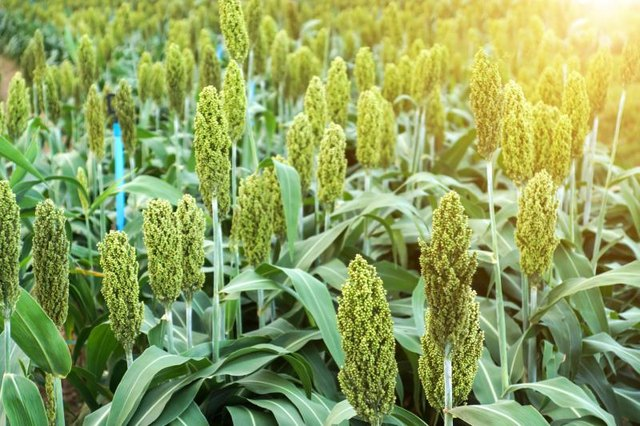 Nutritional Facts About Sorghum Syrup