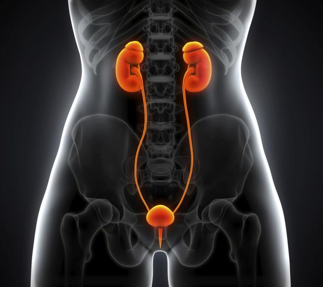 What Body Systems Do the Kidneys Work With?