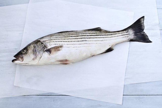 Tips on Catching Striped Bass