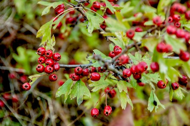 Hawthorn Berry Herb as a Diuretic