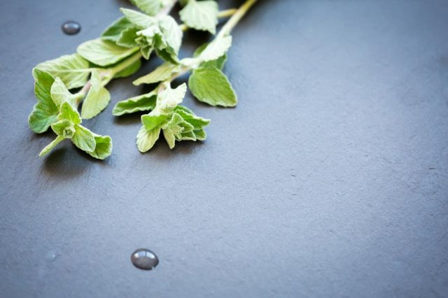 Oil of Oregano for Fungal Infection