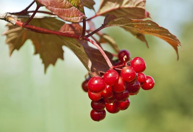 Hawthorn Berry Contraindications