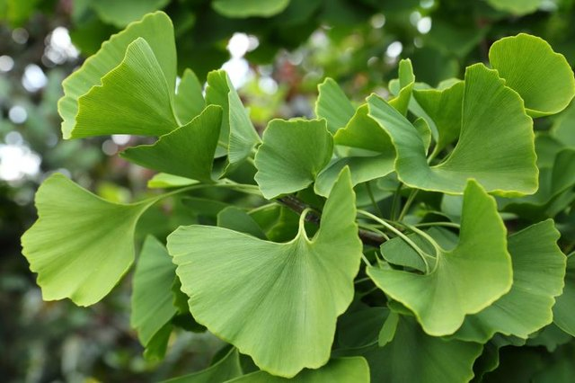 The Side Effects of Ginkgo Biloba for Migraines & Headaches