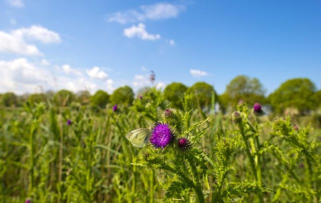 The Advantages of Milk Thistle