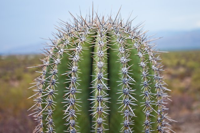 What Are the Benefits of Cactus Juice?