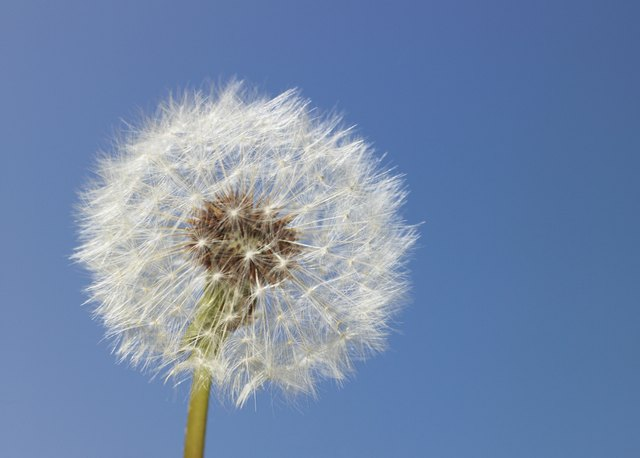 A dandelion grows in a field.