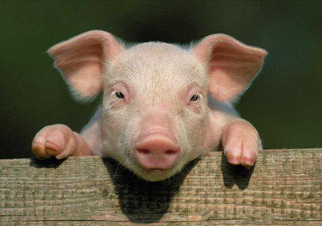 Pigs are among the world's smartest animals.