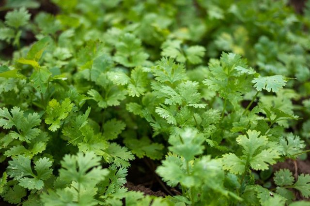 Cilantro as a Chelator