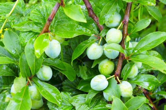 Will Green Plums Hurt Your Stomach?