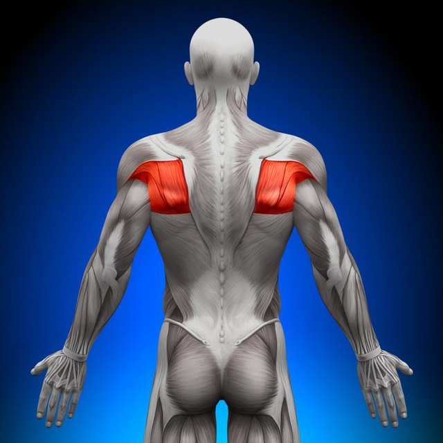 Strong rotator cuff muscles help decrease shoulder pain.