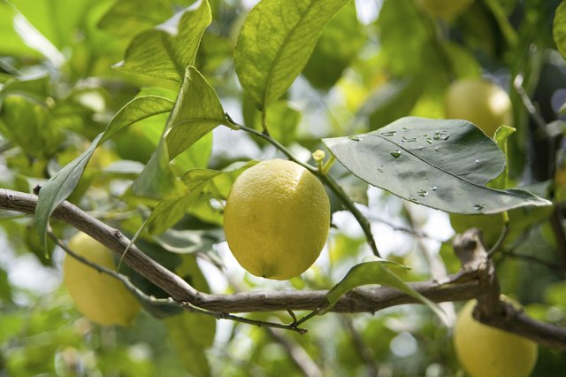 Natural lemons are high in many vitamins.