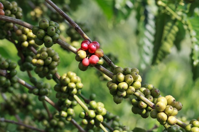 Coffee bean plants actually have less caffeine than guarana